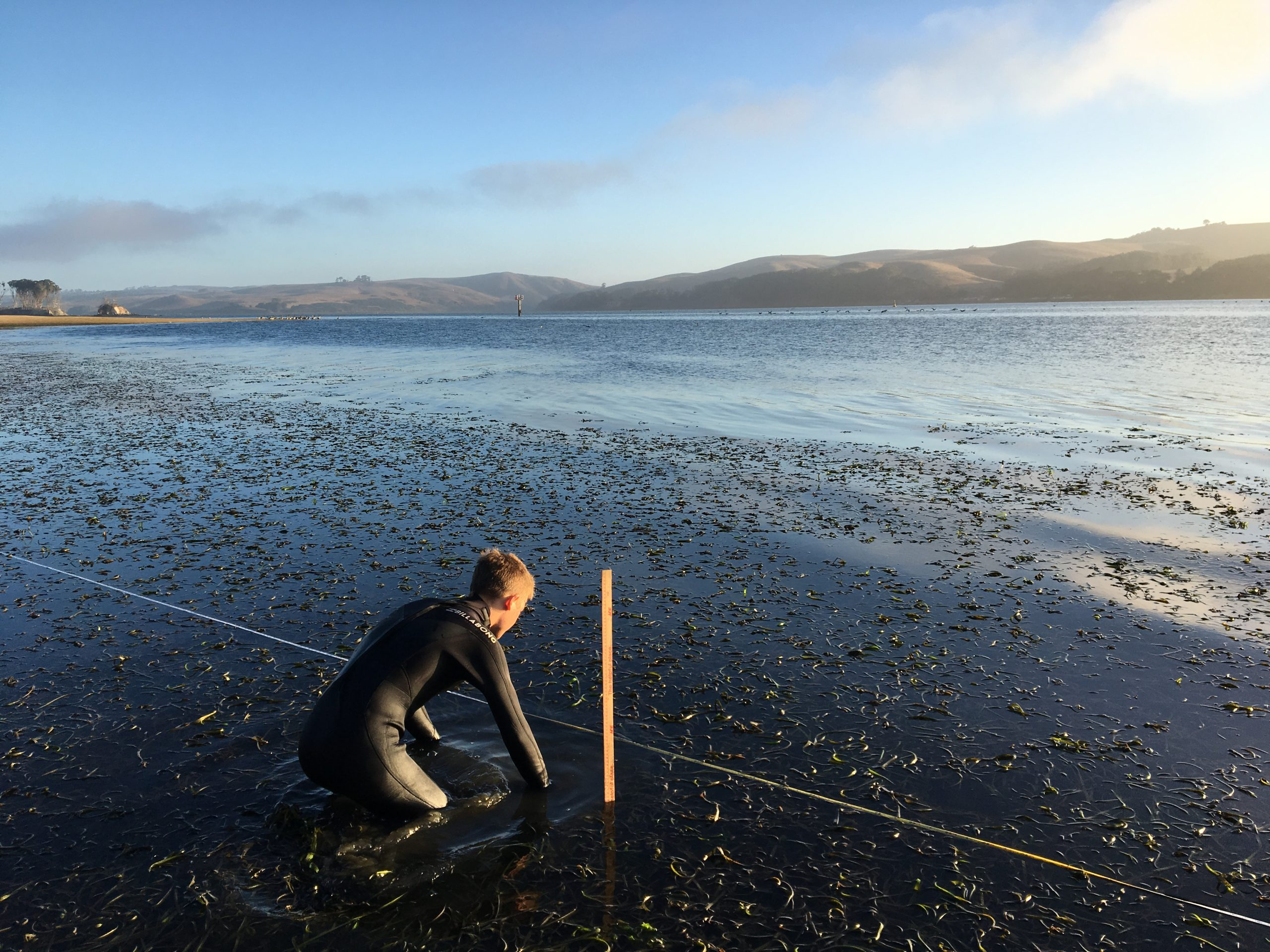 Ben Rubinoff counting eelgrass shoots next to a measuring tape and meter stick in Tomales Bay.