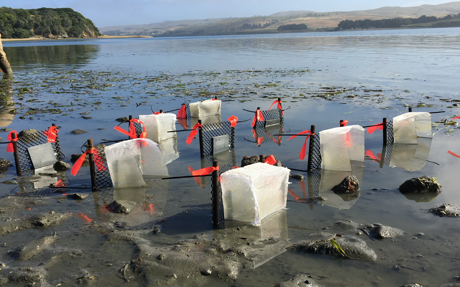 Settlement plates with cages to examine effects of predators on fouling species exposed at low tide in Tomales Bay, CA.